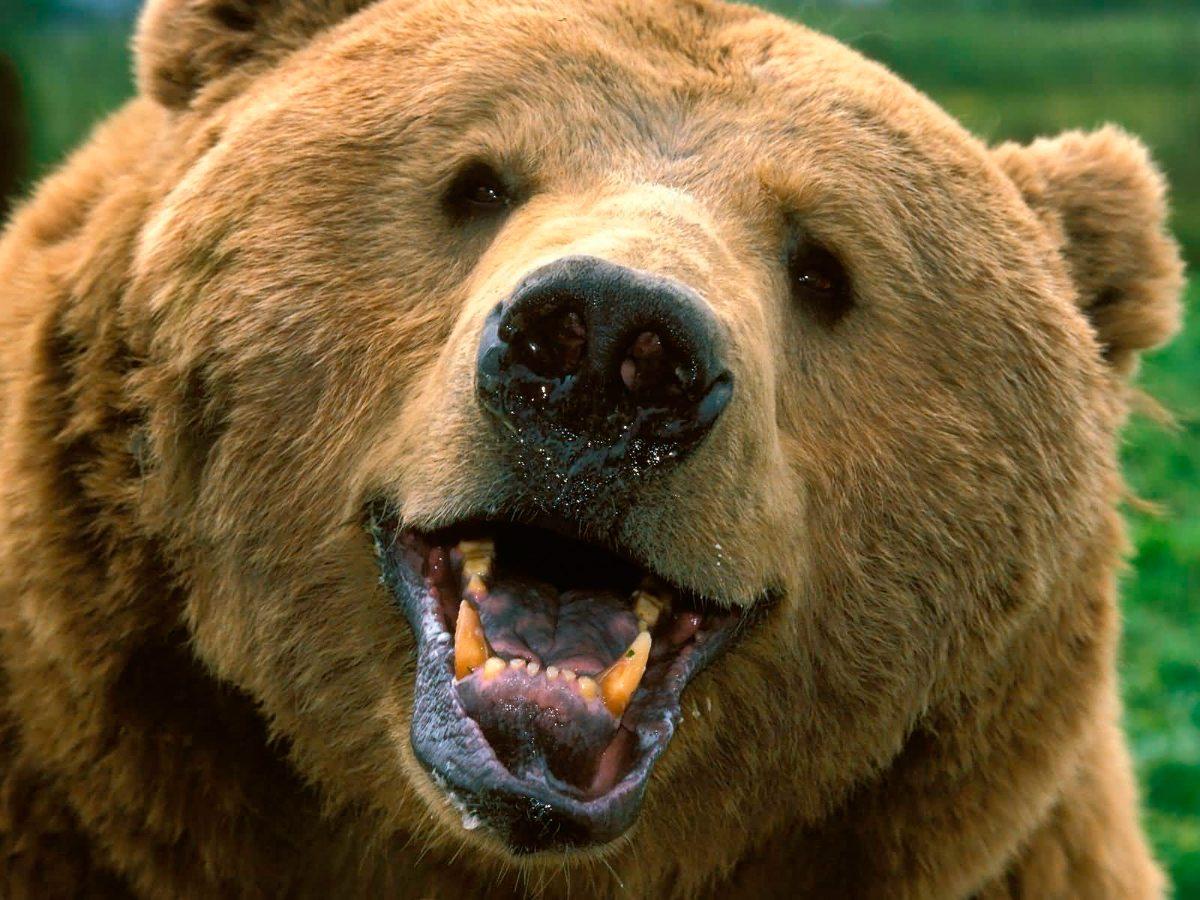 Cara de un oso :: Imágenes y fotos