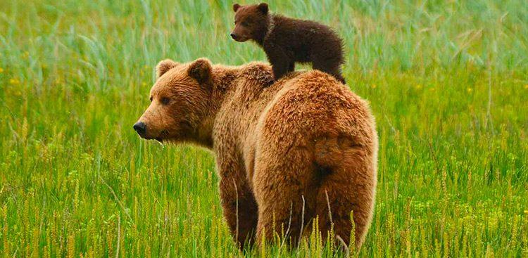 Cra del Oso grizzly  Imgenes y fotos