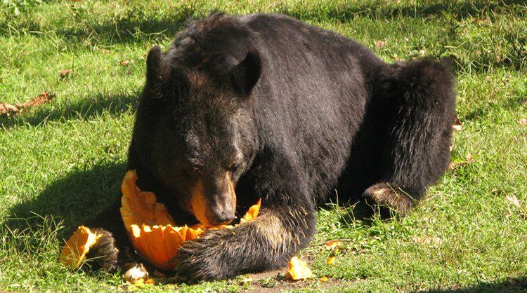 Alimentacin de los osos