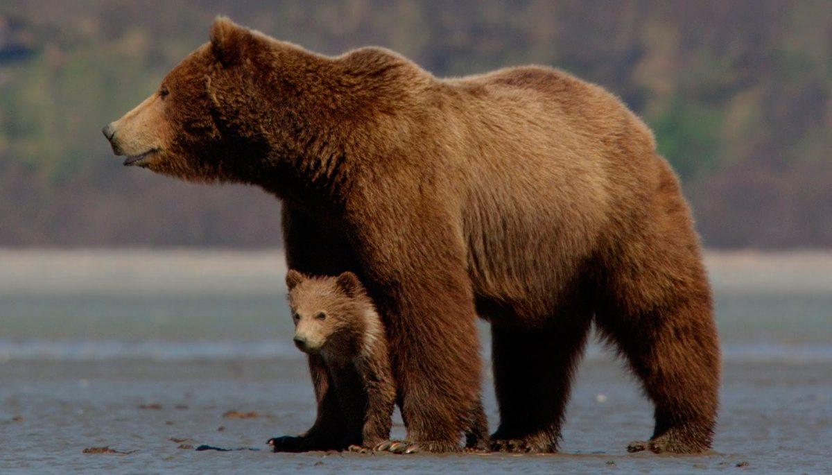 Familia de osos pardos :: Imágenes y fotos
