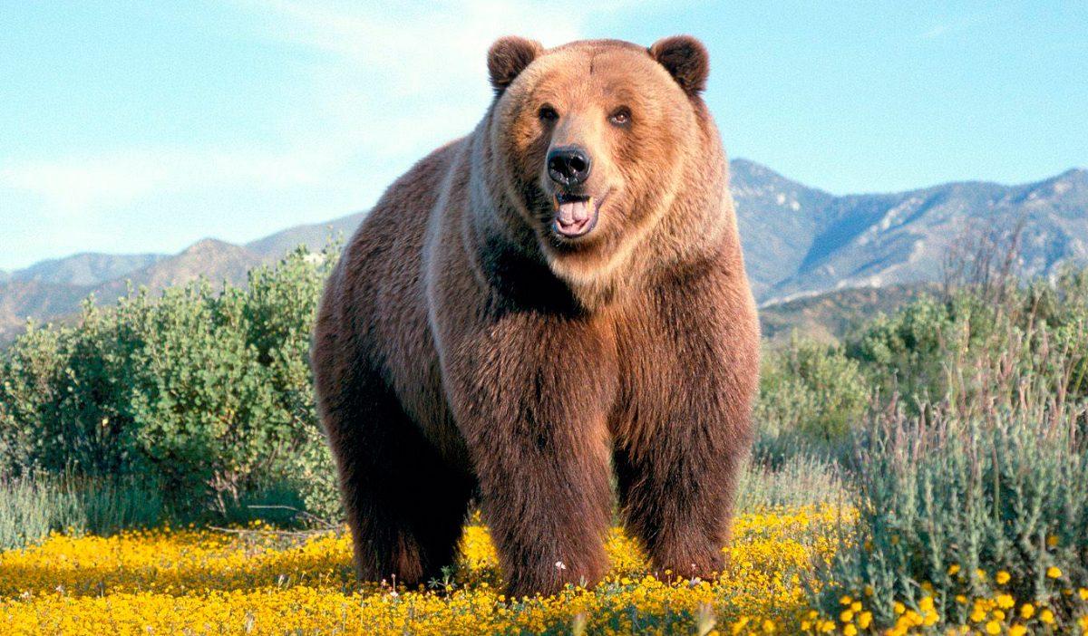 Un oso en Cercedilla