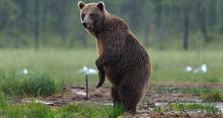 Mitos sobre los osos