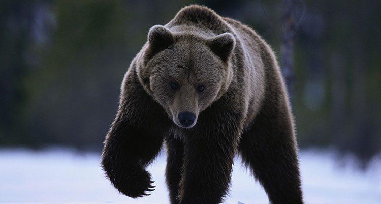 Galera de imgenes Osos grizzly