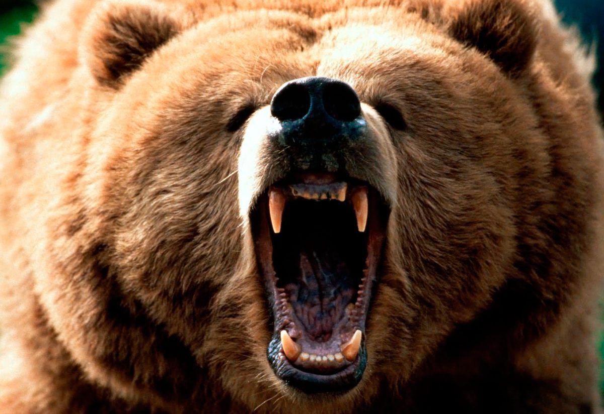 Oso Grizzly Rugiendo Imágenes Y Fotos