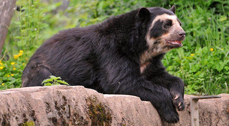 oso de antojos machu picchu