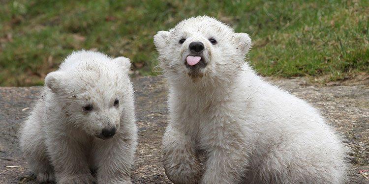 Los Osos Polares Bebés