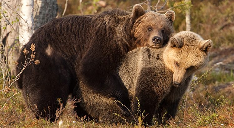 pareja sexual oso